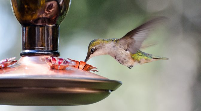 Do hummingbirds see the color red best?